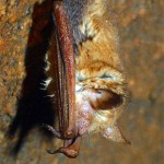 bats can be found in large numbers in winter