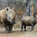 Swaziland Rhino Poaching Arrest