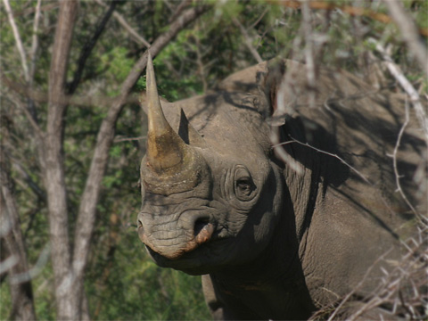 A black rhino at Swaziland's Mkhaya Game Reserve